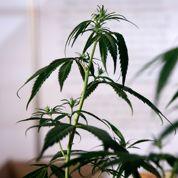 Investissement dans le cannabis: l'euphorie pourrait ne pas durer