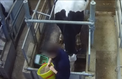 L'association L214 dénonce les conditions de vie des «vaches à hublot»