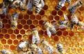 La production de miel devrait être «catastrophique» à cause du climat