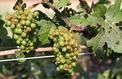 Des vignes du Beaujolais endommagées par la grêle