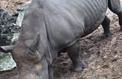 Zoo de La Palmyre: un rhinocéros victime des incivilités de visiteurs