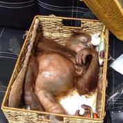 Bali : un Russe arrêté avec un orang-outan dans sa valise