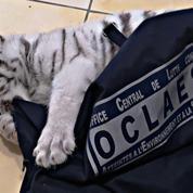 Il détenait un bébé tigre blanc dans le Var: un homme interpellé