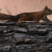 Etats-Unis: il donnait de la meth à son écureuil pour en faire un animal d'attaque