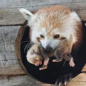 Auvergne: la femelle panda roux échappée d'un parc animalier en mars a eu un petit