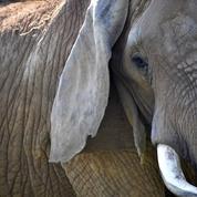 Un agriculteur thaïlandais meurt, transpercé par une défense d'éléphant