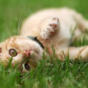 Une étude révèle qu'un chat stérilisé vit plus vieux et mieux