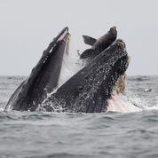 Rarissime photo d'un lion de mer tombant dans la gueule d'une baleine