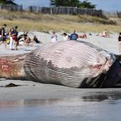 Finistère: une baleine de 13 mètres s'échoue sur une plage
