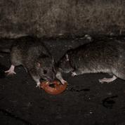 États-Unis : face aux rats, New York tente le bain d'alcool