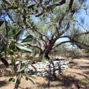 La bactérie «tueuse» détectée sur deux oliviers dans les Alpes-Maritimes