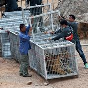 Thaïlande: mort de 86 tigres confisqués à un temple pour maltraitance
