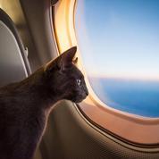 Son chat jugé trop lourd pour voler en cabine, il perd tous ses miles