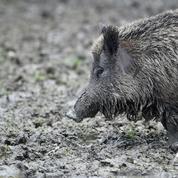Ardennes: 158 sangliers tués lors d'une battue, d'autres chasseurs dénoncent un «dérapage»