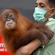 Bali : l'orang-outan caché dans une valise retourne dans la nature