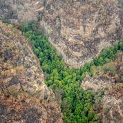 Australie: au cœur des incendies, une mission secrète pour sauver des arbres préhistoriques