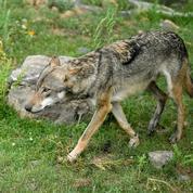 Un loup identifié en Charente, le premier en près d'un siècle