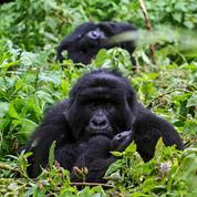 Ouganda: quatre gorilles de montagne tués par la foudre