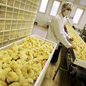 L'industrie alimentaire à la recherche d'alternatives au broyage de poussins mâles