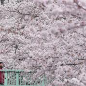 Au Japon, les cerisiers entament leur floraison sans les touristes