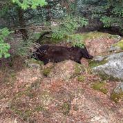 L'ours Cachou retrouvé mort en Catalogne