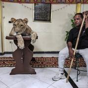 Un dompteur égyptien entraîne sa lionne Joujou à la maison à cause du coronavirus