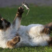Comment la souris de nos ancêtres a créé le chat que nous connaissons aujourd'hui