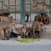 Inde: des singes s'emparent d'échantillons de test sanguins pour le Covid-19