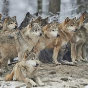 La population de loups continue à progresser en France, plus lentement