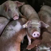 Découverte d'un virus de grippe porcine propice à une prochaine pandémie