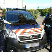 Appelés pour capturer une panthère, des gendarmes tombent sur une peluche