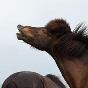 Un groupe de tueurs de chevaux terrorise les éleveurs