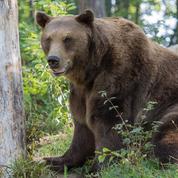Ours en Ariège : un maire émet un interdit de randonnée pour cause de plantigrades