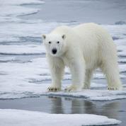 Réchauffement climatique: pourquoi l'extinction des ours polaires est inexorable