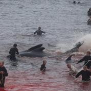 Plusieurs centaines de dauphins massacrés aux îles Féroé