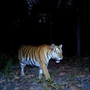 Thaïlande : le nombre de tigres remonte très lentement mais le félin reste menacé