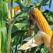 Les producteurs de maïs veulent aussi déroger à l'interdiction des néonicotinoïdes