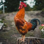 Ardèche: une pétition réclame «justice» après la mort du coq Marcel