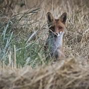 La justice valide l'élimination de 1430 renards en Seine-Maritime