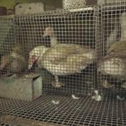 Elevage «insalubre» de canards à Lichos: tous les sites de l'exploitant fermés