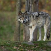 Loups: le gouvernement veut reconduire le nombre d'abattages possibles