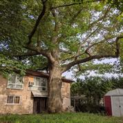 Toronto se mobilise pour sauver un chêne plus vieux que le Canada