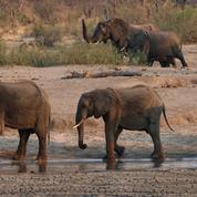 Mort de douze éléphants au Zimbabwe: une bactérie en cause