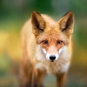 L'arrêté pour réguler la population de renards suspendu en Seine-Maritime