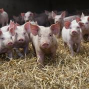L'Allemagne enregistre un premier cas de peste porcine africaine