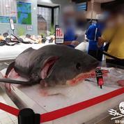 Le requin-renard vendu à l'hypermarché relance le débat sur la pêche accidentelle
