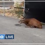 Oise : un cerf trouve refuge à Compiègne après une chasse à courre