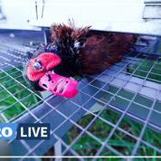 Une enquête de L214 montre des animaux à l'agonie dans un élevage de gibiers pour la chasse