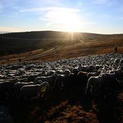 Des milliers de moutons bloqués par la neige en Savoie
