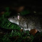 La «maladie du rat» inquiète les autorités en vue des JO de Paris 2024